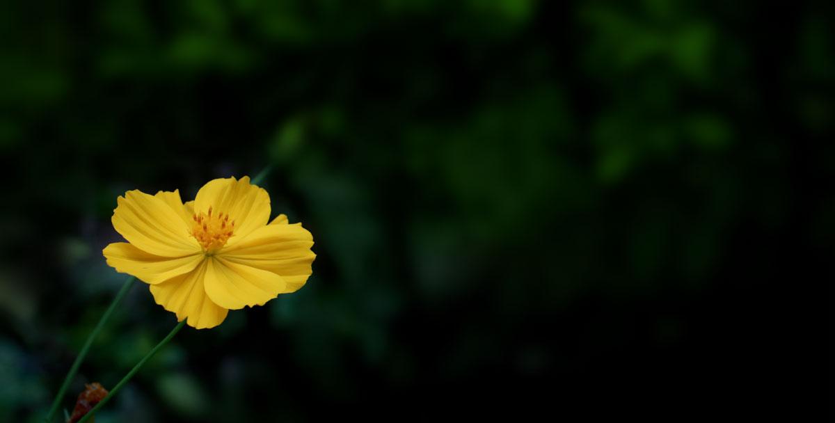 bright yellow flower with dark greenery background