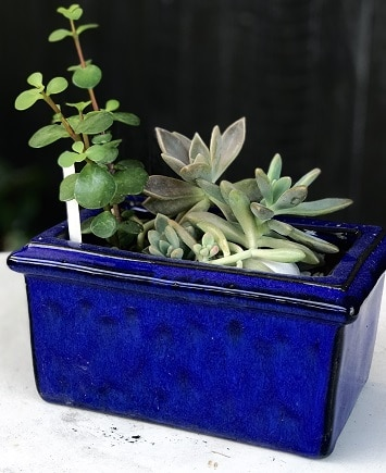 Glazed pot with plant